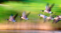 Canadian geese in motion #3