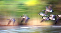 Canadian geese in motion #2